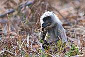 Young Hanuman langur, India