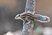 Indian palm squirrel, India