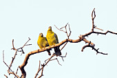 Yellow-footed green pigeons, India