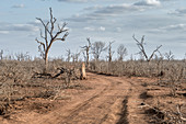 Dead trees in Hlane Park, Swaziland