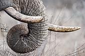 African elephant trunk and tusks, Hlane Park, Swaziland