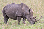 Rhinoceros grazing, Kwazulu-Natal, South Africa