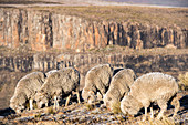 Sheep grazing on a mountain top, Lesotho