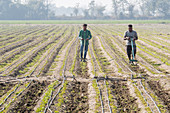 Men working with rows of crops, Punjab, India