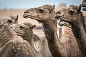 Camel calves, Al Ain Camel Market, Abu Dhabi, UAE