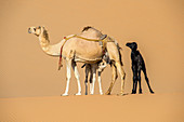 Female camel and her young
