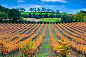 Vineyard in autumn, Ayegui, Navarre, Spain
