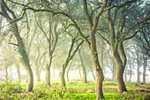 Oak grove, Iguzkiza village, Navarre, Spain