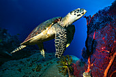 Hawksbill turtle swimming over a reef