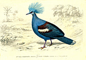 Crowned pigeon, 19th Century illustration
