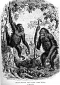 Orangutans, 19th Century illustration