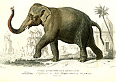 Indian elephant, 19th Century illustration