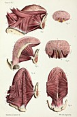 Tongue anatomy, 1866 illustration