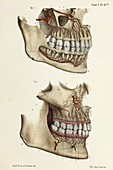 Teeth and gum artery anatomy, 1866 illustration