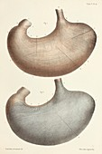 Stomach muscle layers, 1866 illustration