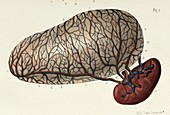 Stomach and spleen anatomy, 1866 illustration