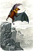 Madagascan flying fox, 19th century