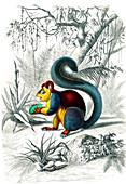 Malabar giant squirrel, 19th century