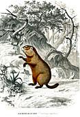 Groundhog, 19th century