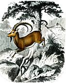 Nubian ibex, 19th century