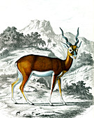 Indian antelope, 19th century