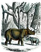 Sumatran rhinoceros, 19th century