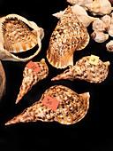 Giant triton shells