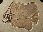 Jurassic fish fossil