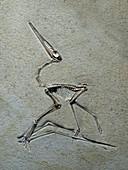 Jurassic pterosaur fossil