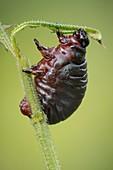 Bloody Nosed Beetle larva