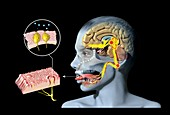 Taste and smell physiology, illustration