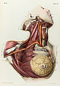 Neck and armpit arteries, 1866 illustration