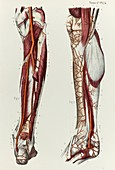 Lower leg arteries, 1866 illustration