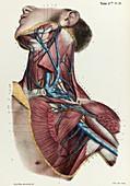 Neck and armpit veins, 1866 illustration