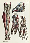 Lower leg and foot veins, 1866 illustration