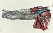 Upper arm lymphatic vessels, 1866 illustration