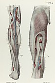 Thigh and lower leg fascia, 1866 illustration