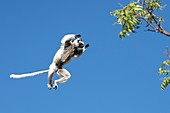 Verreaux's sifaka leaping