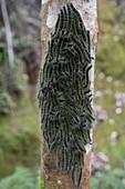 Social caterpillars