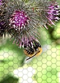 Bee on thistle flower, close up., illustration