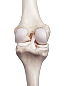 Illustration of the human knee