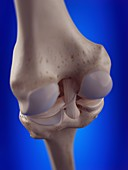 Illustration of the knee ligaments