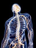 Illustration of the human nervous system