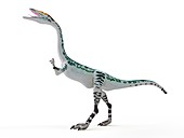 Illustration of a Coelophysis