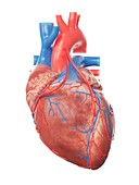 Illustration of a heart with 2 bypasses