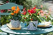 Kleine Chilipflanzen in Übertöpfen als Tischdeko
