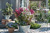 Zinkwanne herbstlich bepflanzt mit Kräuselmyrte und Astern