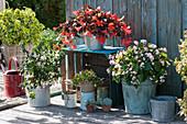 Terrassen - Arrangement mit Begonien, Fuchsie 'Albina' und Buntnessel