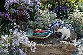 Neugierige Katzen am Beet mit Herbstastern