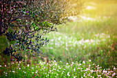 Olive tree in a blooming meadow